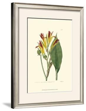Antique Canna I by Van Houtt