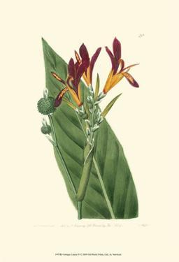 Antique Canna IV by Van Houtt