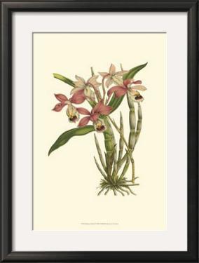 Blushing Orchids II by Van Houtt