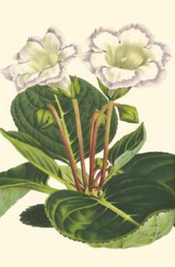 Gloxinia Garden IV by Van Houtt