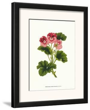 Pink Geranium I by Van Houtt