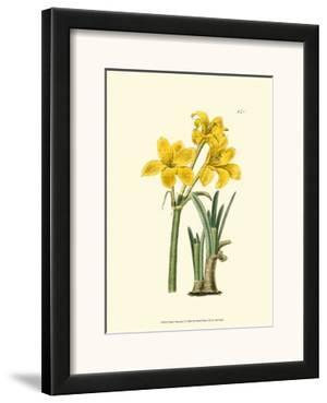Yellow Narcissus I by Van Houtt