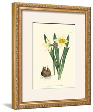 Yellow Narcissus II by Van Houtt