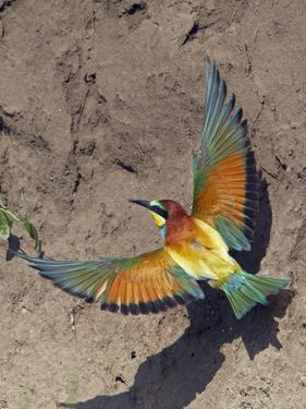 European Bee-Eater (Merops Apiaster) Flying to Nest Hole in Bank, Pusztaszer, Hungary, May 2008 by Varesvuo