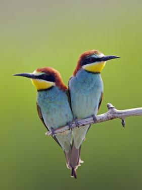 European Bee-Eater (Merops Apiaster) Pair Perched, Pusztaszer, Hungary, May 2008 by Varesvuo