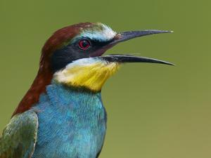 European Bee-Eater (Merops Apiaster) Vocalising, Pusztaszer, Hungary, May 2008 by Varesvuo