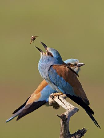 European Roller (Coracias Garrulus) Pair with Courtship Gift of Insect Prey, Pusztaszer, Hungary