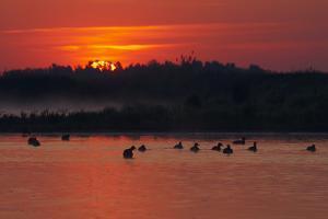Flock of Coot (Fulica Atra) on Lake at Sunset, Pusztaszer, Hungary, May 2008 by Varesvuo