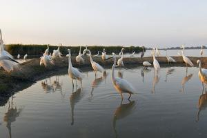 Flock of Great Egret (Ardea Alba) at Water, Pusztaszer, Hungary, May 2008 by Varesvuo