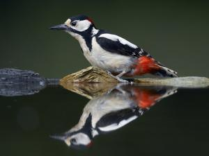 Great Spotted Woodpecker (Dendrocopus Major) at Water, Pusztaszer, Hungary, May 2008 by Varesvuo