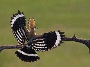 Hoopoe (Upupa Epops) Landing on Branch, Rear View with Wings Open, Hortobagy Np, Hungary, May 2008 by Varesvuo
