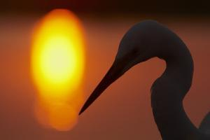 Silhouette of Great Egret (Ardea Alba) at Sunset, Pusztaszer, Hungary, May 2008 by Varesvuo
