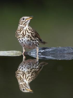Song Thrush (Turdus Philomelos) at Water, Pusztaszer, Hungary, May 2008 by Varesvuo