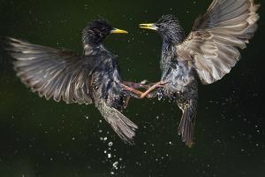 Two Common Starlings (Sturnus Vulgaris) Fighting, Pusztaszer, Hungary, May 2008 by Varesvuo