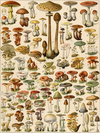 https://imgc.allpostersimages.com/img/posters/varieties-of-mushrooms_u-L-PJS5UZ0.jpg?p=0