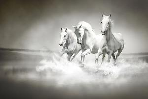 Herd Of White Horses Running Through Water by varijanta