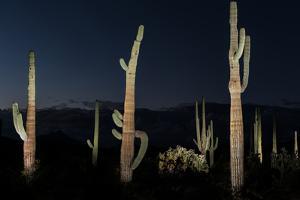 Various cactus plants in a desert, Organ Pipe Cactus National Monument, Arizona, USA