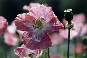 Opium Poppies (Papaver Somniferum) by Vaughan Fleming