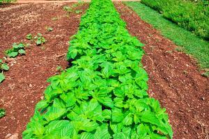 Vegetable garden at Thomas Jefferson's Monticello in Charlottesville Virginia