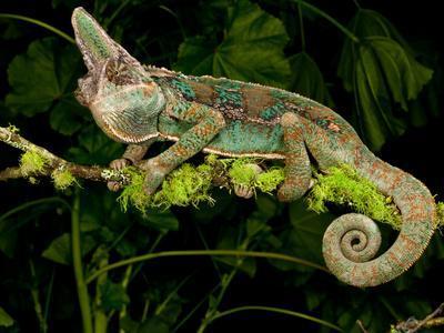 https://imgc.allpostersimages.com/img/posters/veiled-chameleon-chamaeleo-calyptratus-native-to-yemen_u-L-PXQIQ80.jpg?p=0