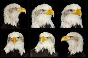 American Bald Eagle Collection of Portraits in Six Different Poses by Veneratio
