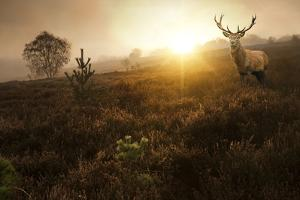 Beautiful Forest Landscape Of Foggy Sunrise In Forest With Red Deer Stag by Veneratio