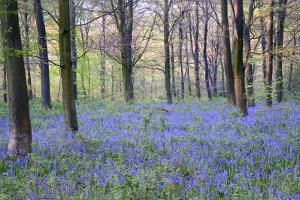 Beautiful Fresh Spring Bluebell Woods by Veneratio