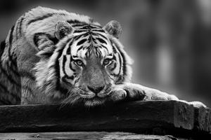 Beautiful Heartwarming Image of Tiger Laying with Head on Paws in Black and White by Veneratio