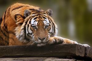 Beautiful Heartwarming Image of Tiger Laying with Head on Paws by Veneratio