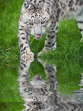 Beautiful Portrait of Snow Leopard Panthera Uncia Big Cat Reflected in Calm Water by Veneratio