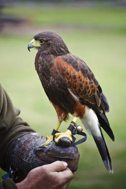 Harris Hawk Bird of Prey during Falconry Display by Veneratio