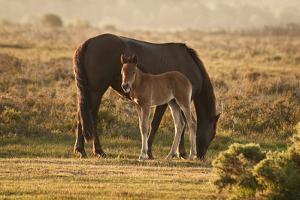 New Forest Pony Mare and Foal Bathed in Sunrise Light in Landscape with Back Lighting by Veneratio