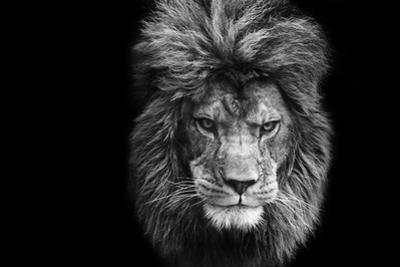 Stunning Facial Portrait of Male Lion on Black Background in Black and White by Veneratio