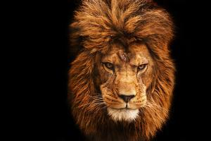 Stunning Facial Portrait of Male Lion on Black Background by Veneratio