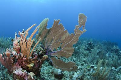 https://imgc.allpostersimages.com/img/posters/venus-sea-fan-hol-chan-marine-reserve-coral-reef-island-belize-barrier-reef-belize_u-L-Q12T0DF0.jpg?p=0