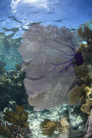 https://imgc.allpostersimages.com/img/posters/venus-sea-fan-lighthouse-reef-atoll-belize_u-L-Q12T0EF0.jpg?artPerspective=n