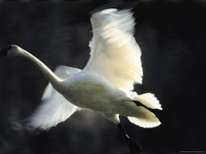 Trumpeter Swan in Flight by Vernon Merritt III
