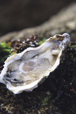 Oyster by Veronique Leplat