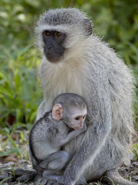 Vervet Monkey (Chlorocebus Aethiops) Mother and Infant, Kruger National Park, South Africa, Africa