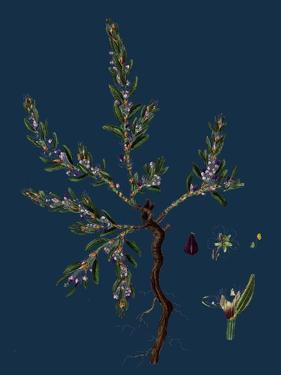 Vicia Lathyroides; Spring Vetch