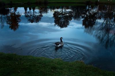 A Goose Swims in a Calm Lake by Vickie Lewis