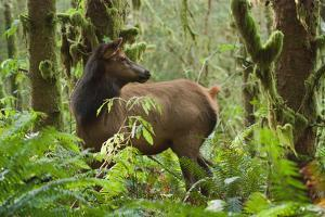 A Roosevelt Elk Stands in a Lush Forest in Ecola State Park by Vickie Lewis