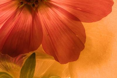 Abstract Photograph of a Zinnia Flowe by Vickie Lewis
