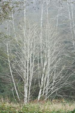 Birch Trees in Fog by Vickie Lewis