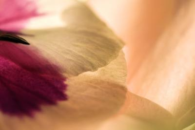 Close Up of a Pansy by Vickie Lewis