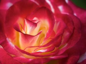 Close Up of the Red Tinged White Petals of the Dream Come True Rose by Vickie Lewis