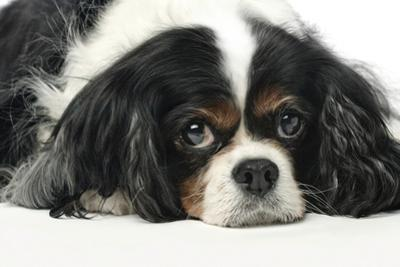 Close Up Portrait of a Pet Cavalier King Charles Spaniel by Vickie Lewis