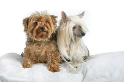 Close Up Portrait of a Pet Chinese Crested Dog and a Yorkshire Terrier by Vickie Lewis