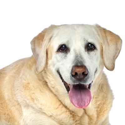 Close Up Portrait of an Old Pet Yellow Labrador Retriever Panting and Resting by Vickie Lewis