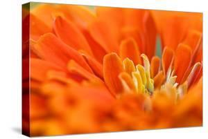 Extreme Close Up of An Orange Chrysanthemum Flower by Vickie Lewis